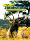 Wildlife @ Yellowstone - The Story Behind the Scenery